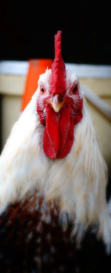 Un coq, vu de face dans une ferme du Gers. Sa crête rouge et son regard particulier, lui donne un aspect vraiment agressif.