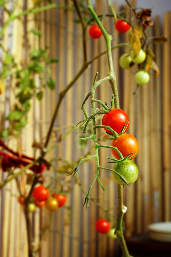 Mes tomates cerises qui poussent sur mon balcon à Caluire s'amusent à arborer des couleurs différentes. Les trois tomates sont verte puis orange puis rouge.