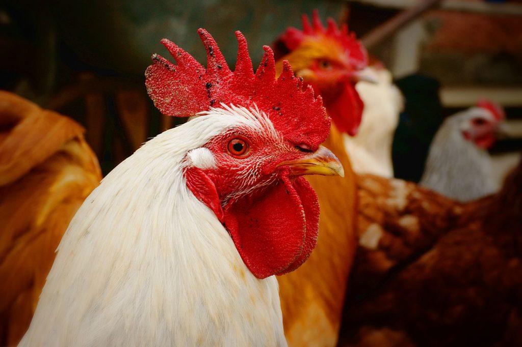 Un coq avec une crête magnifique au milieu de la basse-court dans une ferme du Gers. L'animal est entouré d'autres coqs et de poules.