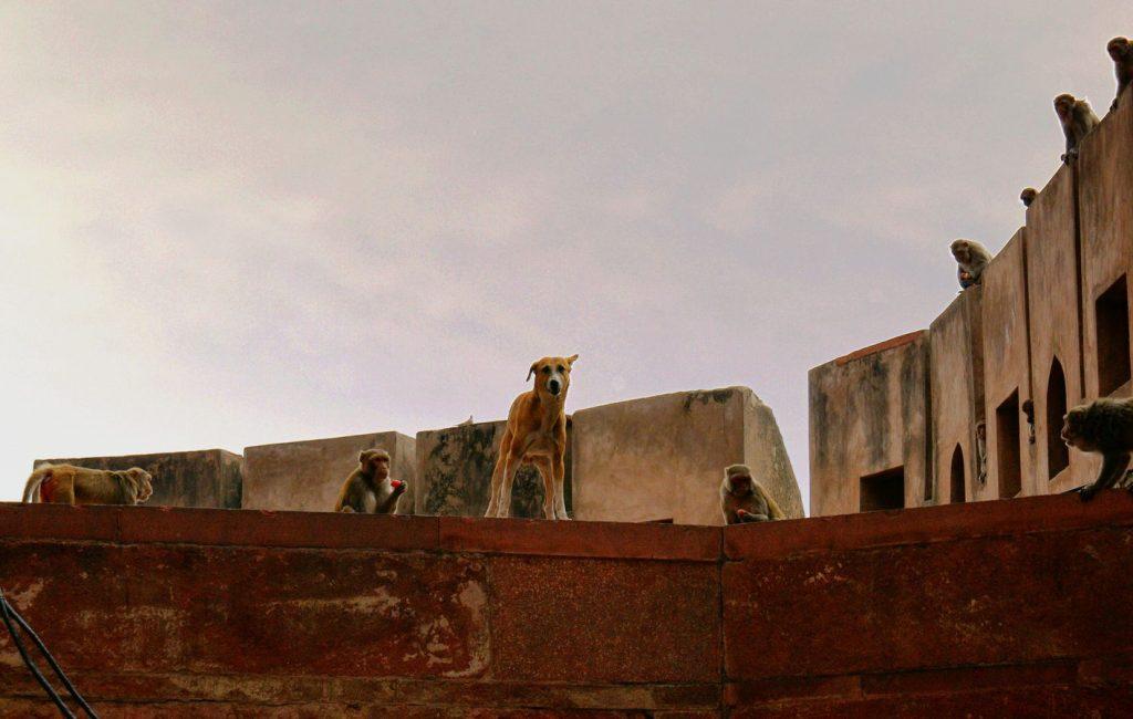 Sur un toit du City Palace de Jaipur, ce chien avec sa tête rigolote m'observait alors qu'il était entouré de singes en train de manger des carottes.
