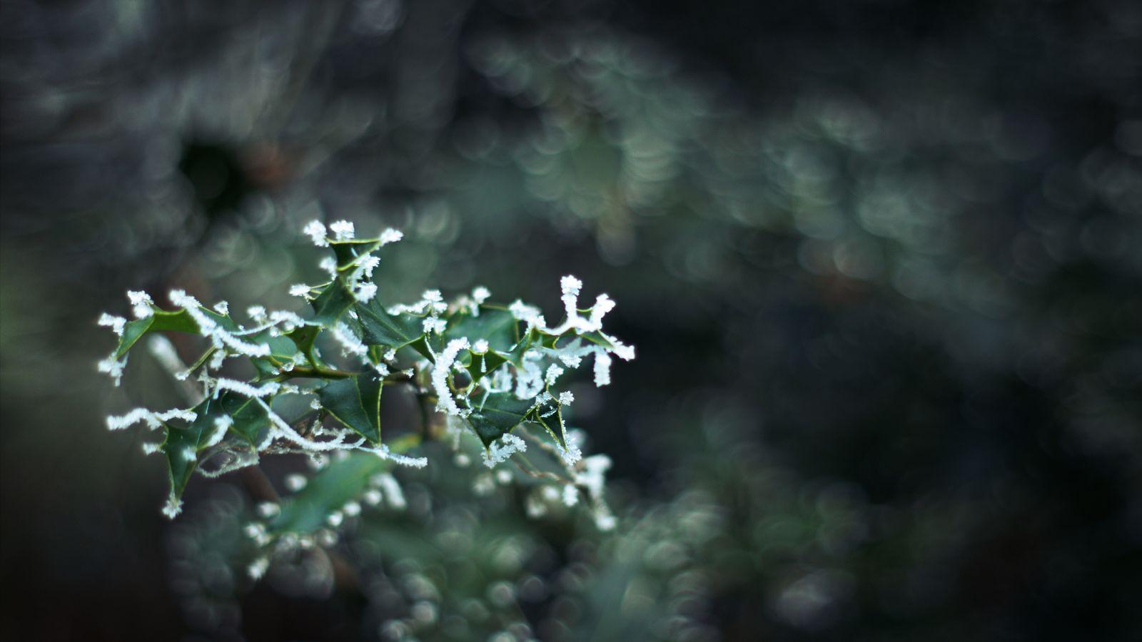Pour la nouvelle année, depuis Jujurieu dans le Bugey, une photo de houx givré. Toutes les extrémités des feuilles sont recouvertes d'une dentelle de givre.